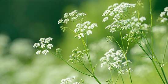 Heilpflanze Anis
