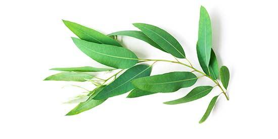Blätter der Heilpflanze Eukalyptus