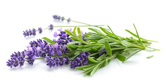 Ein Bund Lavendel-Stängel mit Blüten