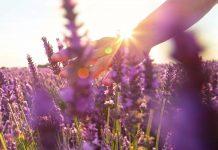 Ein Feld der Heilpflanze Lavendel