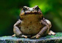 Frosch mit Warzen